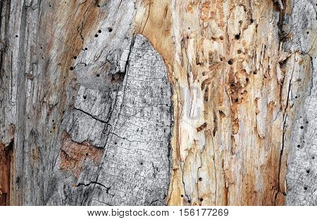 Mouldering surface of tree corroded bugs with the fallen-off bark as a concept of the bad software with many errors. Background. Texture.