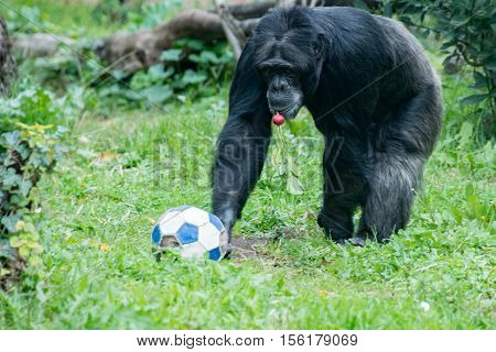 Ape Chimpanzee Monkey While Coming To You With Soccer Ball
