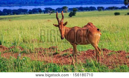 Hartebeest looking straight into camera with Green Savannah Land and Delta in Background