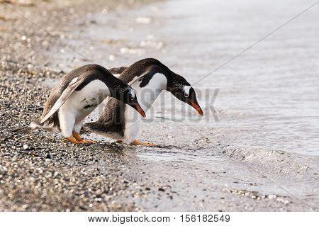 The Papua penguin couple at the seaside