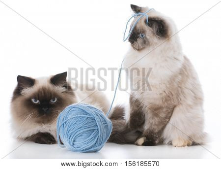 two ragdoll kittens playing with a ball of yarn on white background