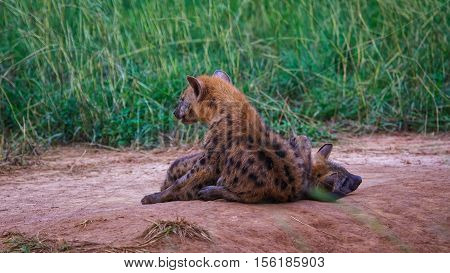 spotted hyena cubs playing in wild at Murchison falls national park Uganda