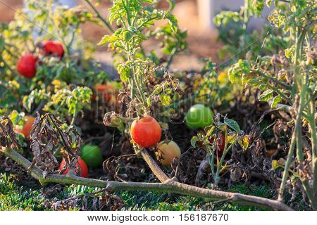 Tomatoes On Bush With Faded Leaves