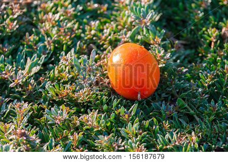Ripe Tomato Fallen On The Grass