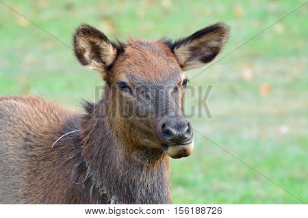 Cute female reindeer caught in the act of chewing