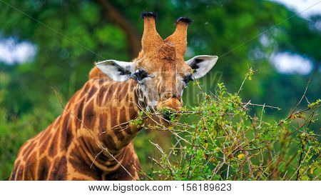 Male Rothschild giraffe consuming acacia tree leaves from upper level