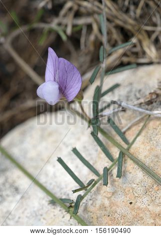 Wandering or Rambling Vetch - Vicia peregrina Wild Flower from Cyprus