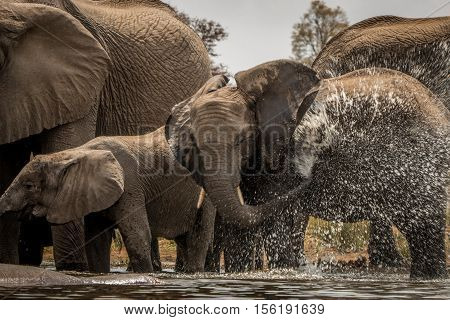 Elephants Playing With The Water.