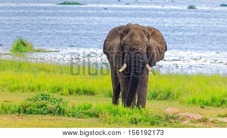 Curious looking african bush elephant on shore of Delta in Murchison Falls NP Uganda
