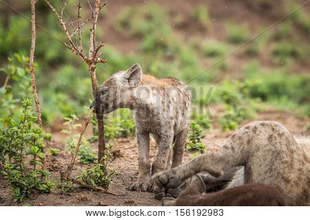 Baby Spotted Hyena Playing With A Branch.