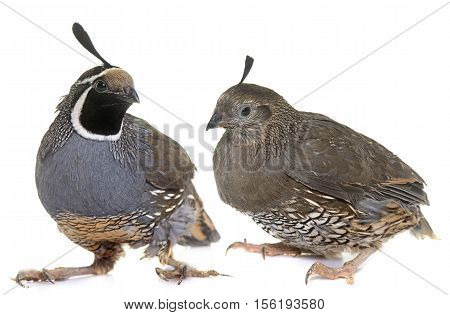 California quails in front of white background