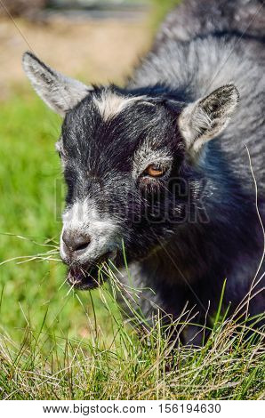 Portrait of grey baby goat kid chewing grass