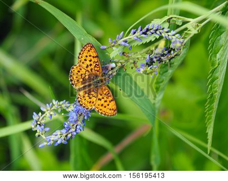 Fritillary (Boloria from Nymphalidae) on the inflorescence of Veronica Yakutia