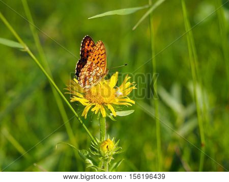 Fritillary (Boloria from Nymphalidae) on the inflorescence of Inula Yakutia