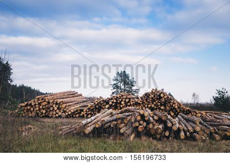 Wood pine with blue sky on background.