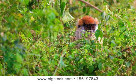 Patas monkey hiding in wild thicket with wide open eyes