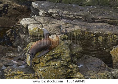 Southern Sea Lion (Otaria flavescens) sleeping on a rock on the coast of Carcass Island in the Falkland Islands.