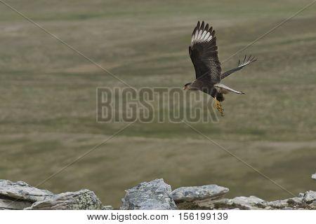 Southern Caracara (Caracara plancus) in flight over Carcass Island in the Falkland Islands.