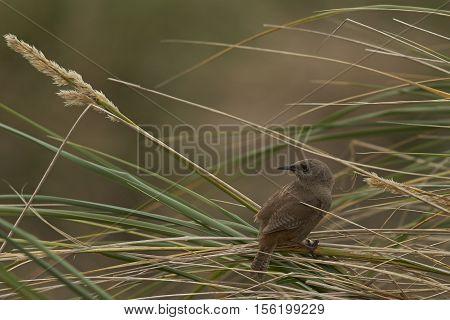 Cobb's Wren (Troglodytes cobbi) standing on a grass stem on Carcass Island in the Falkland Islands.