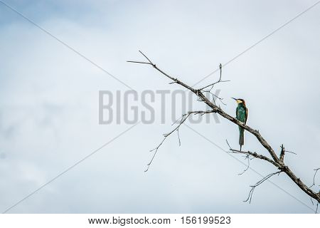 European Bee Eater In A Branch.