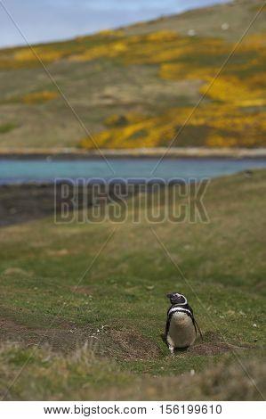Magellanic Penguin (Spheniscus magellanicus) on Carcass Island in the Falkland Islands.