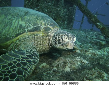 Close up of a large green turtle resting on a ship wreck Oahu HI USA