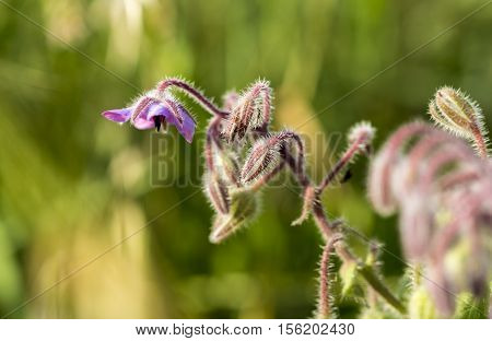 Blooming borrage plant (Borago officinalis) in green background