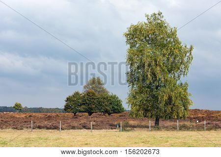 Dutch national park Veluwe with oak trees near heath