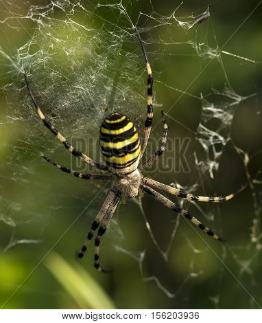 wasp spider with yellow and black stripes on its abdomen in its web