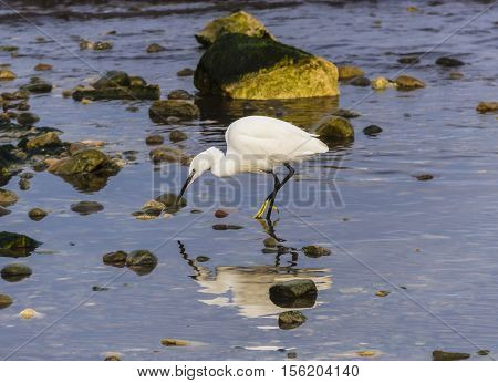 Beautiful little egret catching fish in water