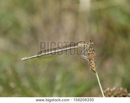 White-legged damselfly Platycnemis pennipes, closeup nature photo