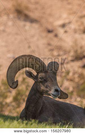 a nice desert bighorn sheep ram bedded