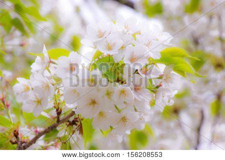 Sakura Is Beautiful Flower, Blossom In Japan.