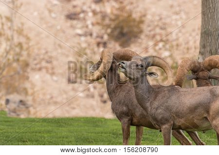 desert bighorn sheep rams in the rut