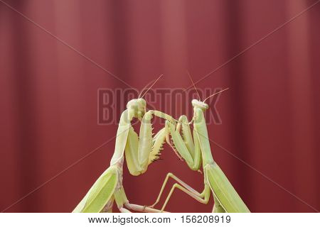 Mantis On A Red Background. Mating Mantises. Mantis Insect Predator.