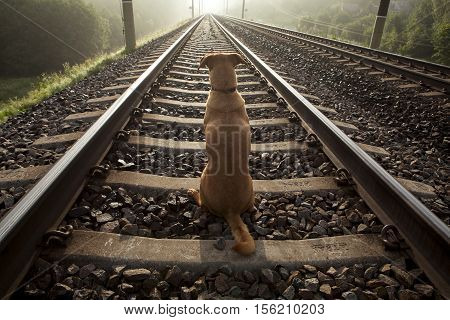 A brown dog sits on a railroad track. His back is turned. It is early summer foggy morning.