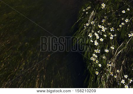 Small white flowers in the river. Tiny flowers are isolated on the dark green river. Water is flowing and creating calm mood. The water space may be used for ideas.