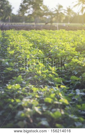 Outdoor Photo Of Sweet Potato Plants In A Field.sweet Pototo Field With Rows Of Plants.selective Foc