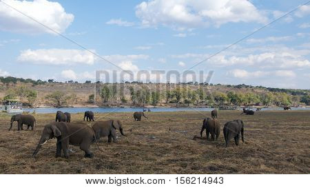 African elephants roaming free in Chobe National Park in Botswana