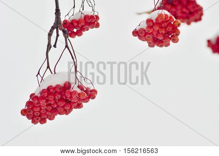 sheaf of red berries of a mountain ash closeup is covered with white snow