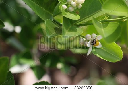 Bumblebee  Is Feed The Syrup On Lemon Flower