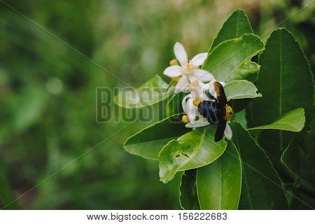 Big Humblebee Is Feed The Syrup On Lemon Flower