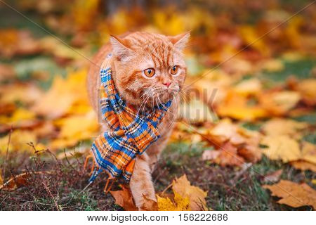 Beautiful Red british Cat with Yellow Eyes n a blue scarf Outdoor. Autumn cat in yellow leaves.