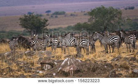 mixed herd of zebra and white bearded wildebeest (Connochaetes tuarinus mearnsi) at the time of migration closeup Maasai Mara National Reserve Kenya