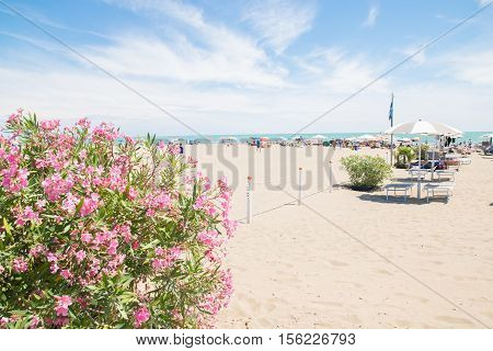 Pink oleander and beach on background in summertime.