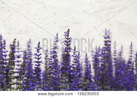 purple flowers contrast against a white stucco wall in fall