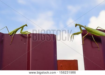 The Female And The Male Praying Mantis On A Metal Fence Profile.