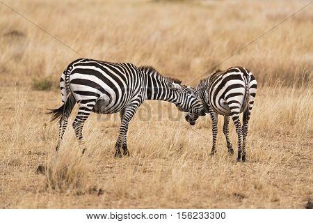 Plain zebras during mating season. The male zebra is making unwanted advances to female . Kenya Eastern Africa