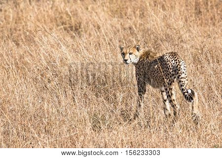 Adult cheetah looking back while walking into tall grasses Masai Mara National Reserve Kenya East Africa