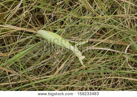 Mantis On The Grass. Mantis Looking For Prey. Mantis Insect Predator.